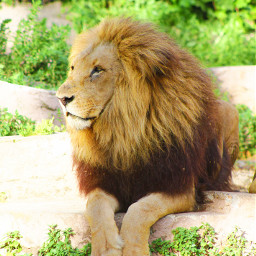 lion pets & animals photography zoo
