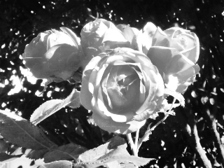 rose black & white summer